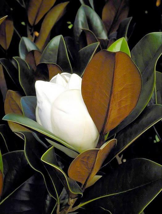 Blanchard Magnolia Flower