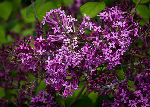 Bloomerang Purple Lilac Flowers