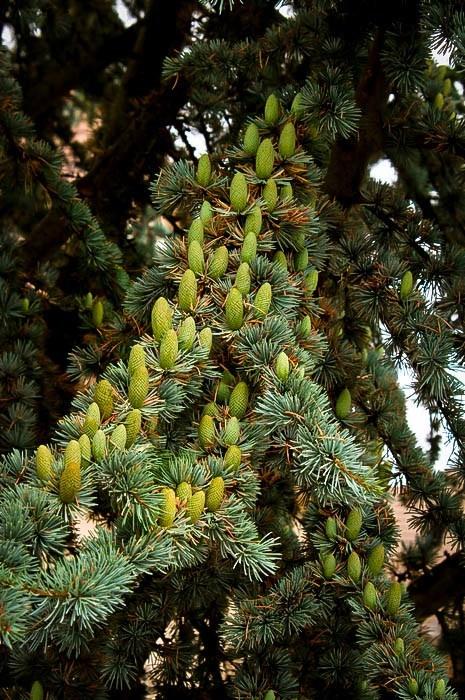 Blue Atlas Cedar Needles