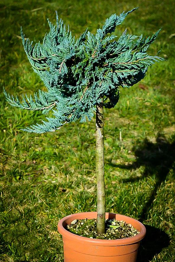 Blue Chip Juniper Tree