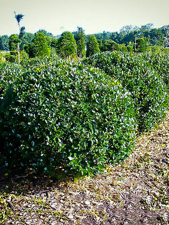 Blue Prince Holly Trees