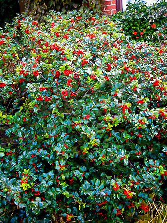 Blue Prince Princess Combination Holly