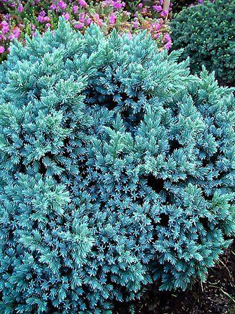 Blue Star Juniper Shrub