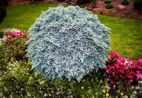 Large Blue Star Juniper Shrub