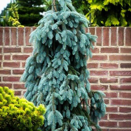 Dwarf Evergreens