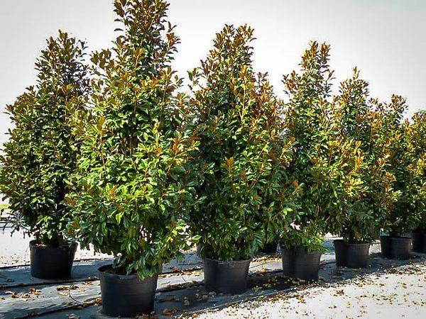 Rows of Bracken's Brown Beauty Magnolias