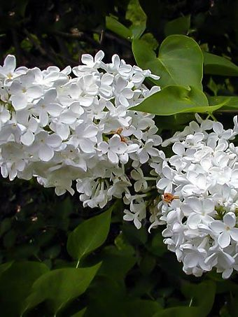 Bridal Memories Lilac Tree