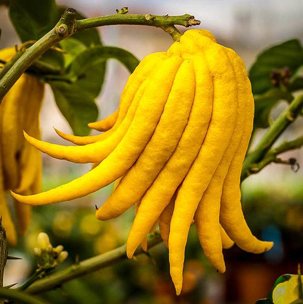 Buddha's Hand Citron Tree