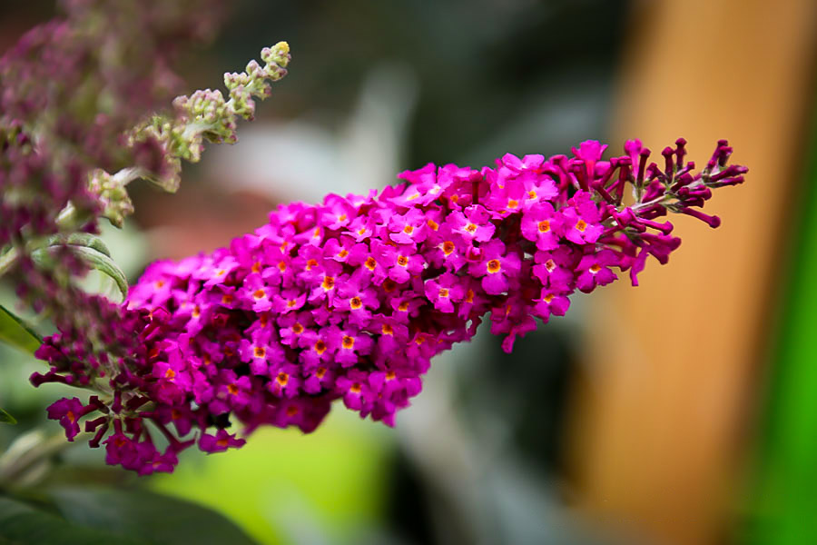 Cranrazz Butterfly Bushes For Sale Online The Tree Center