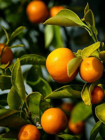 Calamondin Oranges