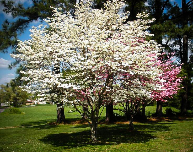 Cherokee Princess Dogwood Tree For Sale Online The Tree Center