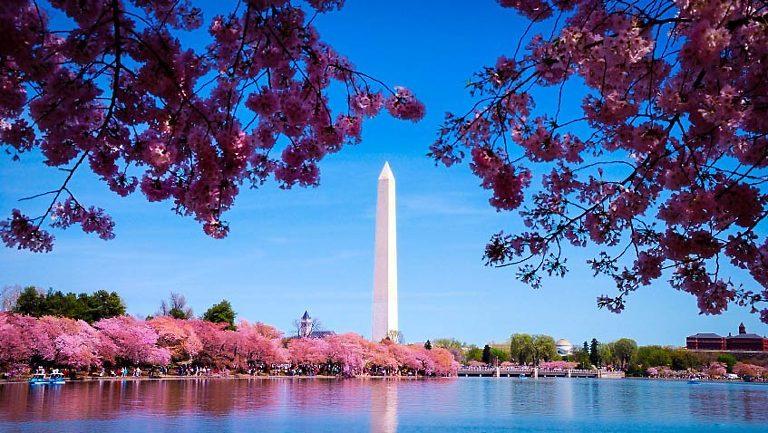 Cherry Blossom Trees On DC Tidal Basin