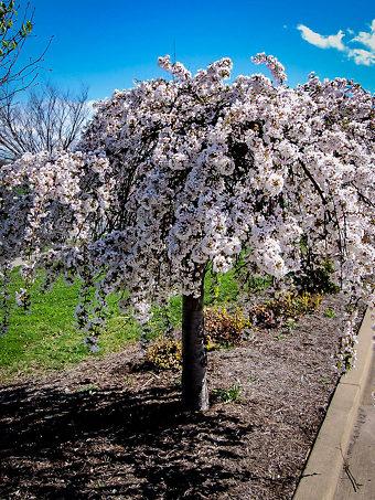 Buy Flowering Cherry Trees Flowering Trees For Sale The Tree Center