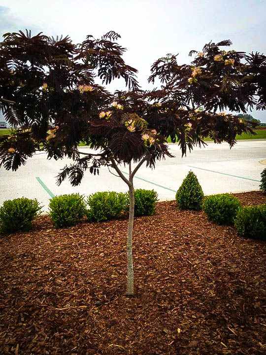 Medium sized Chocolate Mimosa Tree