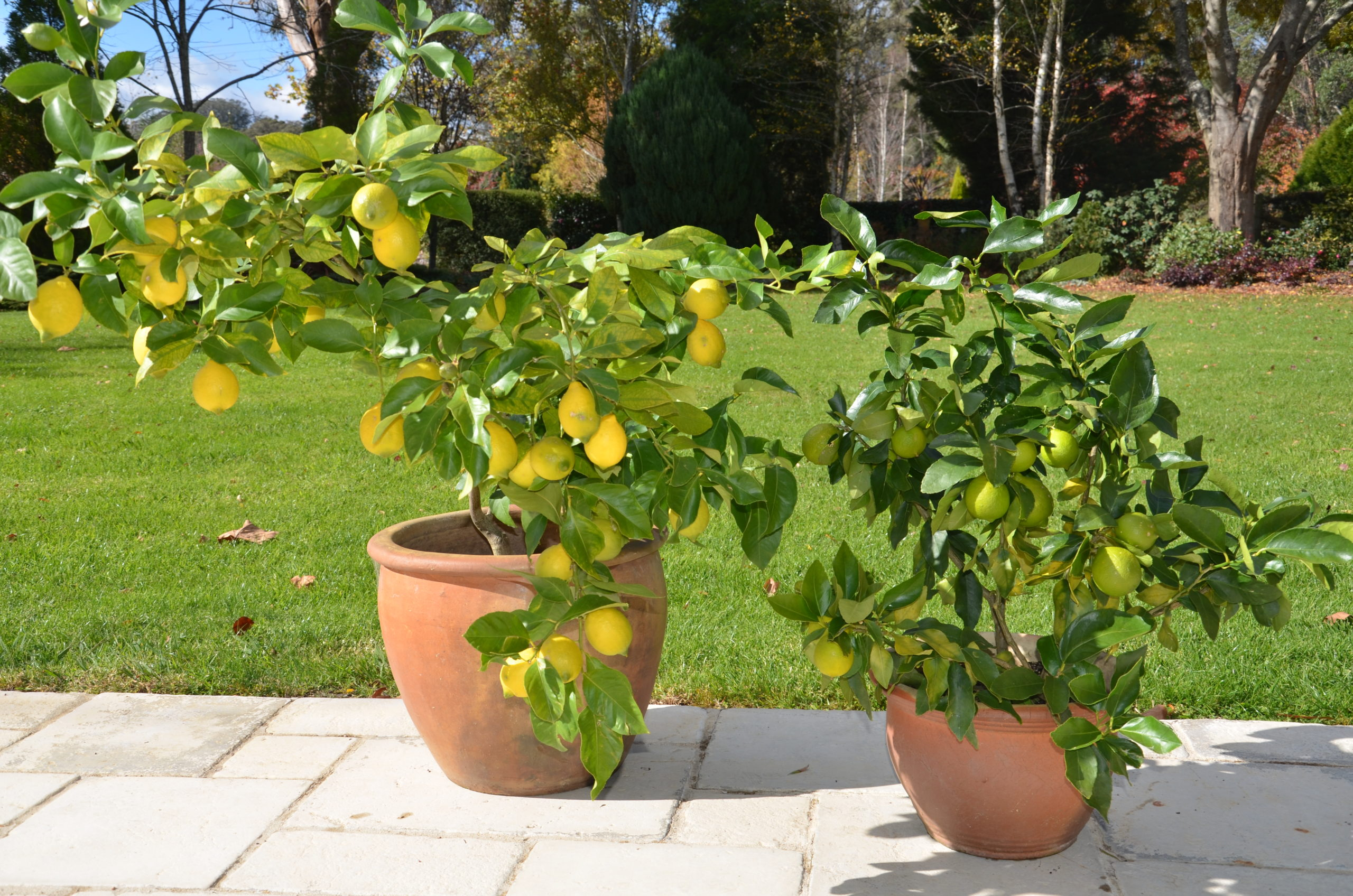 Growing Citrus Trees in Pots   The Tree Center™