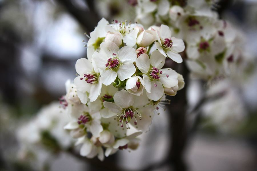 Cleveland Pear Tree Blossoms