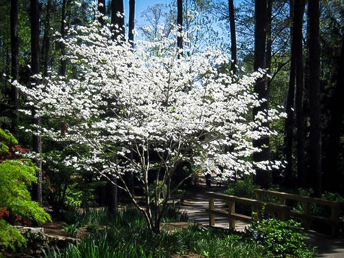 Cloud 9 Dogwood Tree