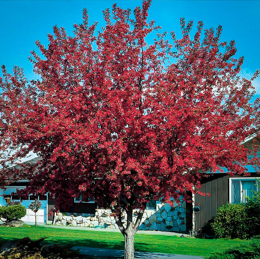 Buy Prairie Fire Crab Apple Trees Online The Tree Center