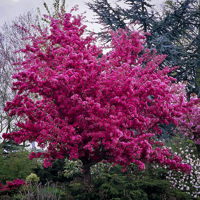 Flowering Crab Apple Trees For Sale The Tree Center