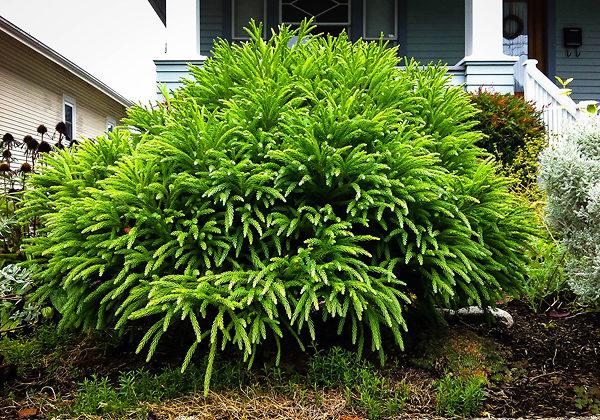 Spiralis Japanese Cedar