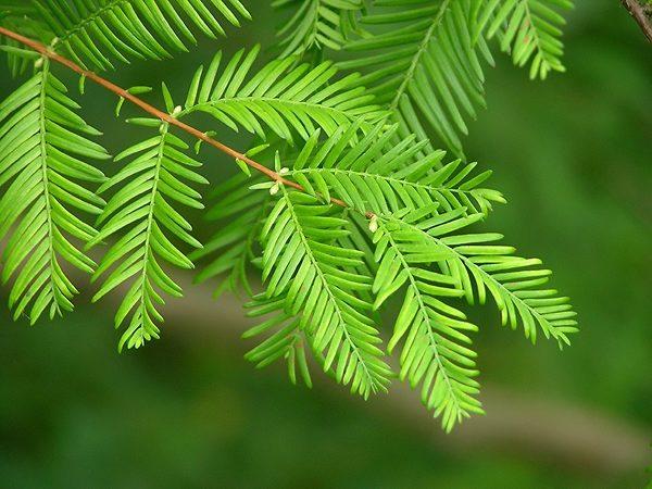 Dawn Redwood Tree Leaves