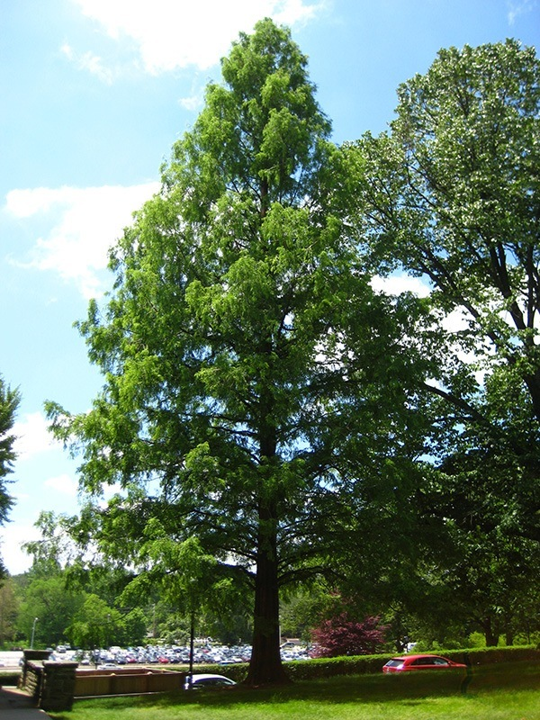 Mature Dawn Redwood Tree