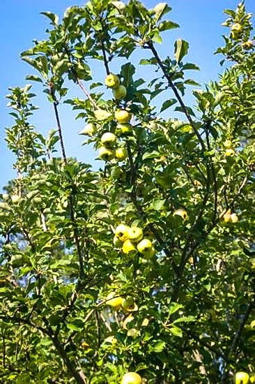 Dorsett Golden Apple Tree Branches