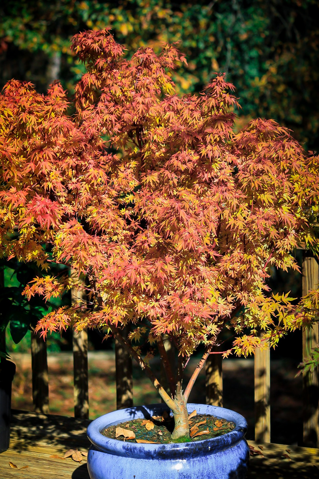 Red Dwarf Japanese Maples For Sale Online The Tree Center