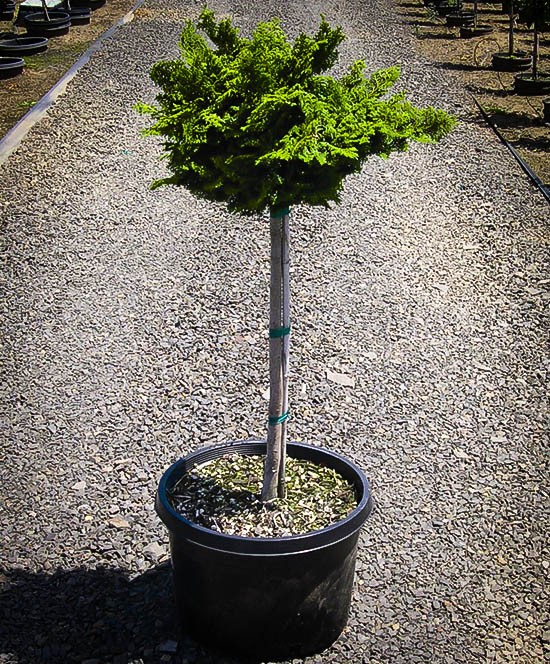 Tree Form Dwarf Hinoki Cypress