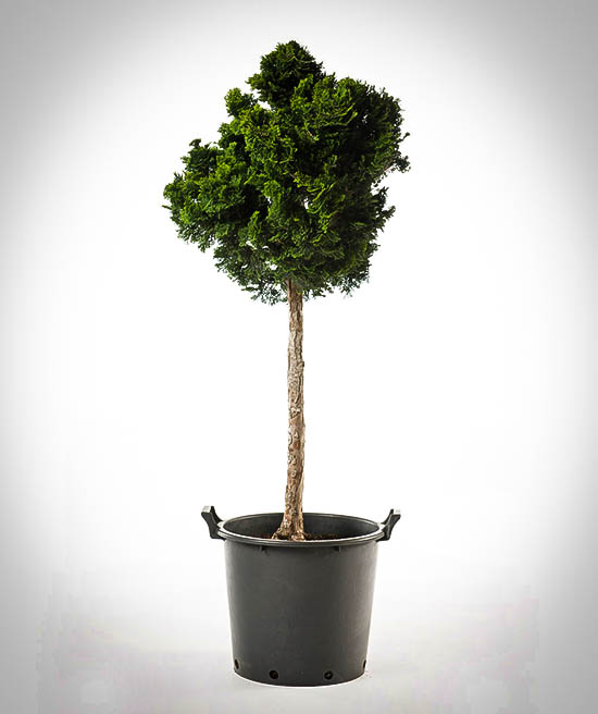 Dwarf Hinoki Cypress Tree