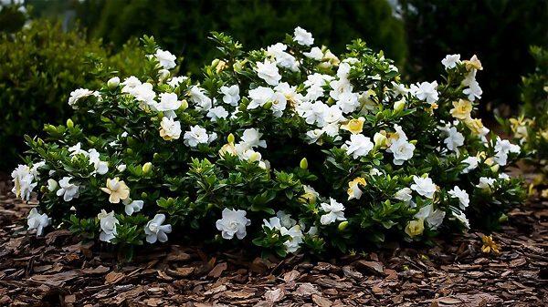 Dwarf Radicans Gardernia Flower