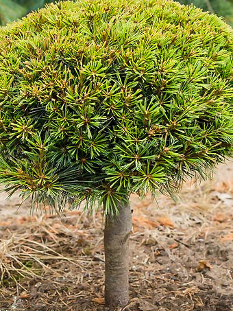 Dwarf Eastern White Pine Tree - On Standard