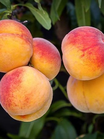 Bunch of Elberta Peaches on Tree