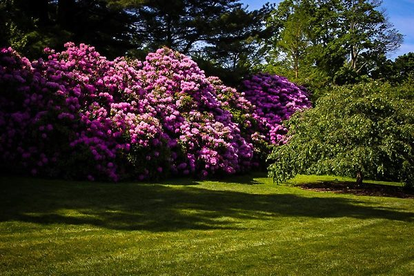 Large English Roseum Rhododendron Backdrop