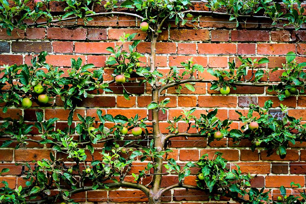 Grow tree on wall - espalier fruit tree