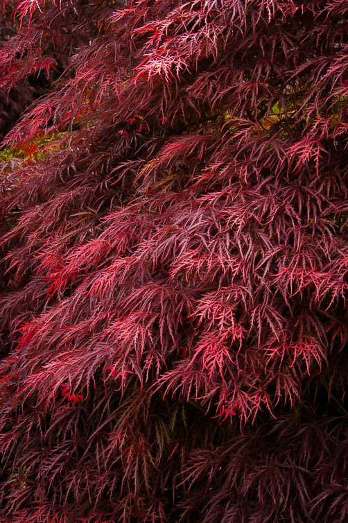 My Experience Planting Trees: Japanese Maple | Oriental ... |Japanese Maple Red Beetle