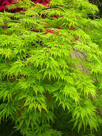 Green Filigree Japanese Maple