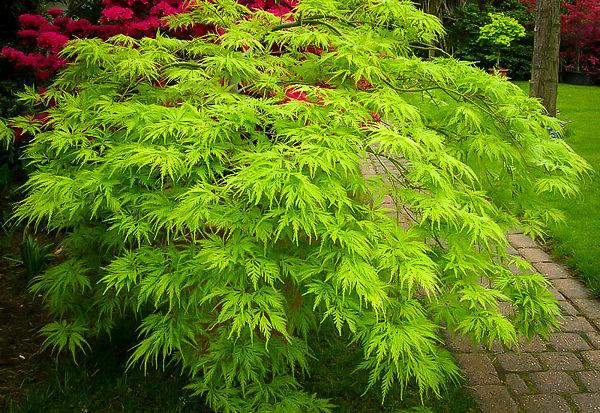 Green Filigree Japanese Maple