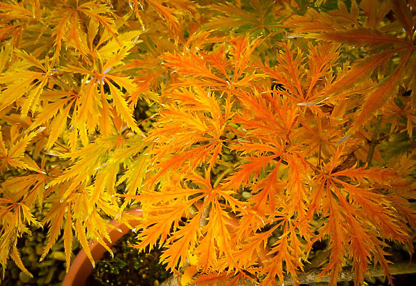 Filigree Japanese Maple Leaves Fall