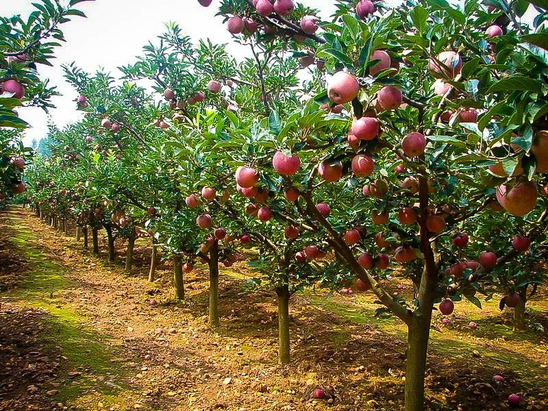 Fuji Apple Trees For Sale The Tree Center