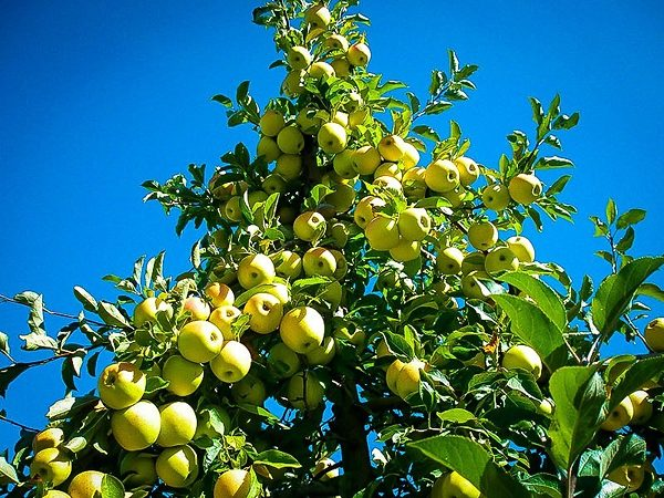 Yellow Apples on Golden Delicious Apple Tree