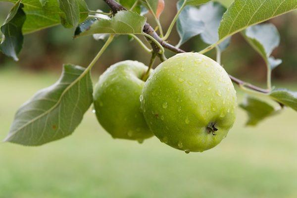 Granny Smith apples on a Granny Smith Apple Tree