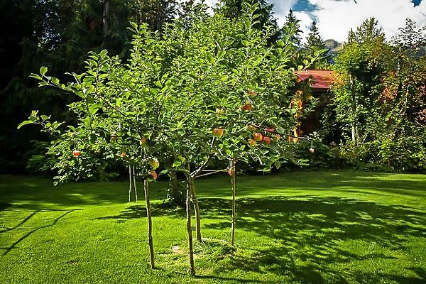 Young Gravenstein Apple Tree