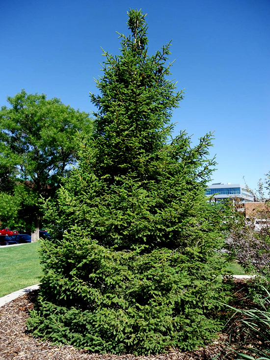 Green Oriental Spruce Trees For Sale Online The Tree Center