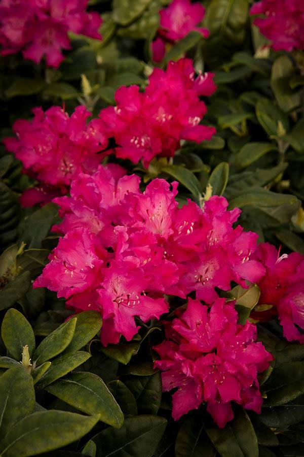 Hellikki Red Hydrangea Flowers