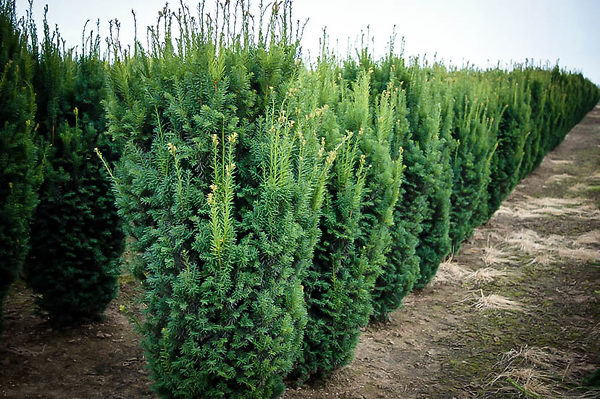 Hicks Yew Hedge Farm