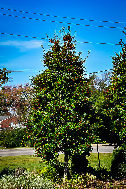 Christmas Tree Holly Bush