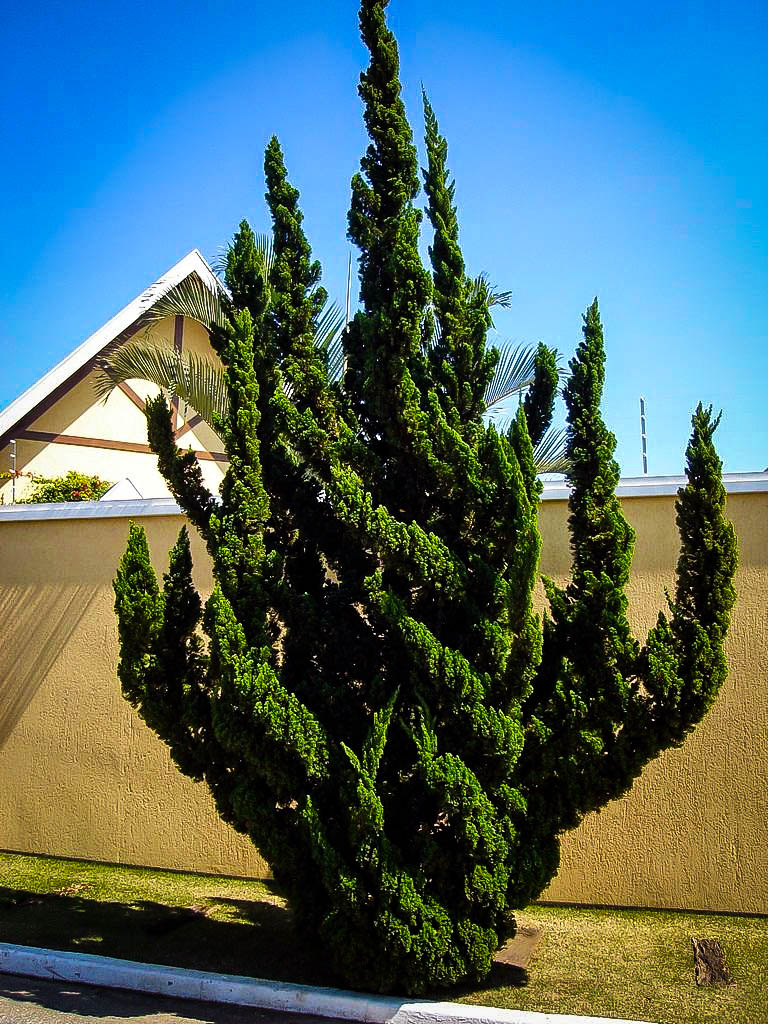 Hollywood Juniper For Sale The Tree Center