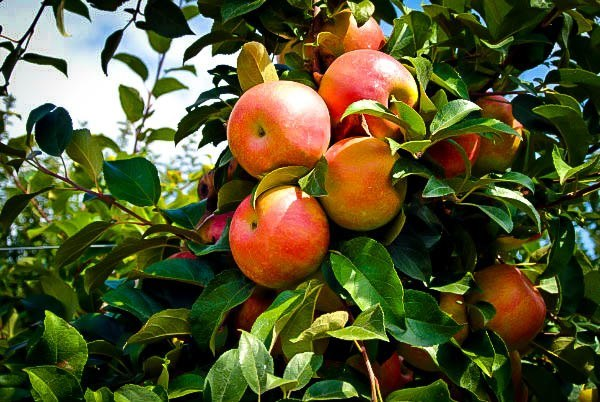 Honeycrisp Apple Tree Fruit