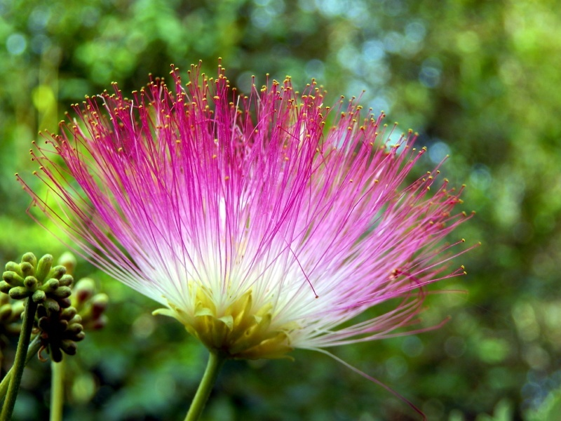 Mimosa Tree Flower Bloom